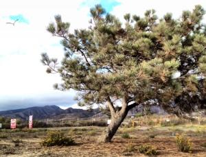 San Diego Tree